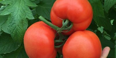 Королевский урожай томатов - лучший подарок садоводу. Узнайте, как его сделать