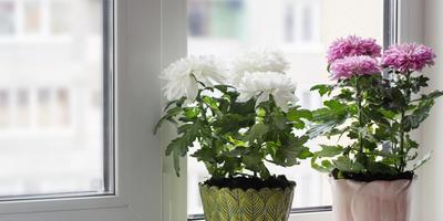 Секреты выращивания хризантем