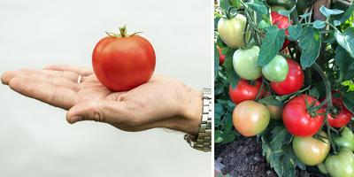 Великолепная пятёрка новых гибридов - томаты на любой вкус