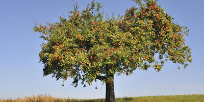 Д/з №3. Крона старой яблони