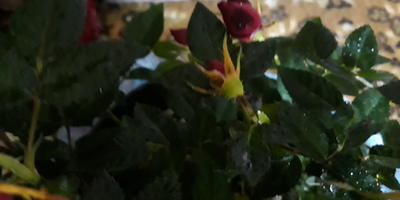 Помогите спасти комнатную розу