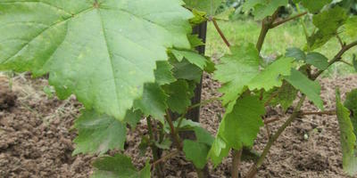 Нужно ли удалять выросший за лето второй стебель винограда?