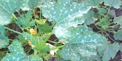 На листьях кабачков пятна, что делать?