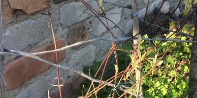 Почему у клематиса желтые ростки?