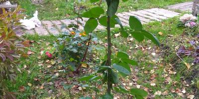 Как обрезать розу Флорибунда на зиму?