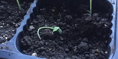 Почему погибает рассада капусты?