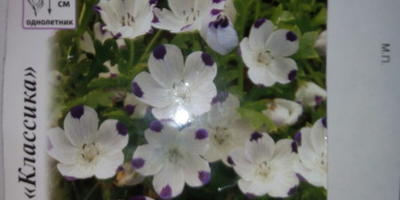 Можно ли сеять немофилу на рассаду в домашних условиях?