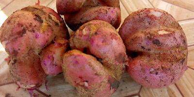 Почему деформируются клубни картофеля?