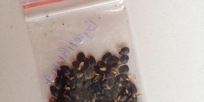 Как садить семена бугенвиллии??