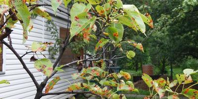 Помогите вылечить грушу. На листьях пятна, вид больной и хилый
