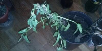 Увядают и скручиваются листья саженца вишни. Помогите спасти