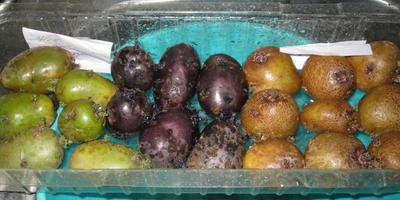 Домашняя работа 4. Здоровый картофель: как выбрать и подготовить клубни к посадке