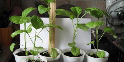 Баклажан Черный русский. Этап III. Развитие растений и уход за ними после пикировки