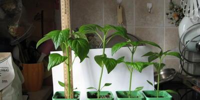 Перец сладкий Большой куш. III этап. Развитие растений и уход за ними после пикирования