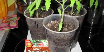 """Томат """"Пузата хата"""". III этап. Развитие растений и уход за ними после пикирования"""