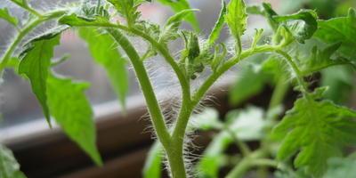 Томат Мадам Кураж F1. III этап. Развитие растений и уход за ними после пикирования