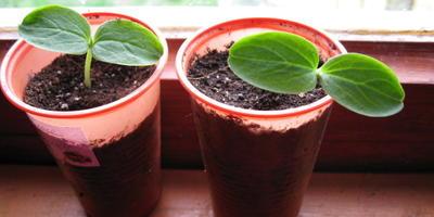 Огурцы Веселые гномики F1. III этап. Развитие растений и уход за ними. Пикировка рассады