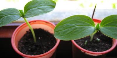 Кабачок цуккини Тигренок. II этап. Всходы, появление настоящих листьев