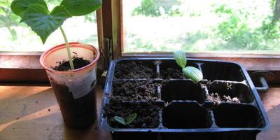 Огурцы Зеленая гирлянда F1. III этап. Развитие растений и уход за ними. Пикировка рассады