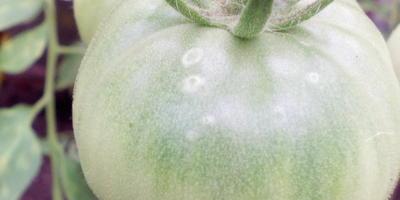 Что случилось с помидорами?