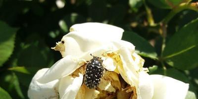 Как можно избавиться от вредителя роз?