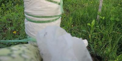Тестирование клея аэрозоля на груше и сливе