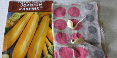 Кабачок цуккини Золотой ключик. Посев семян