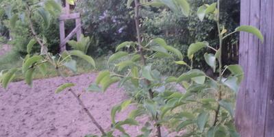 Почему скручиваются листья на груше?