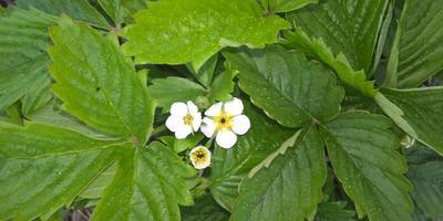 Весной первые цветы ремонтантной земляники съедены долгоносиком. Что можно предпринять весной, чтобы это предотвратить?