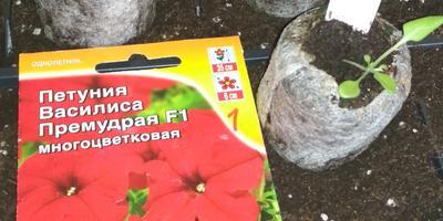 Петуния Василиса Премудрая F1. III этап. Пикировка