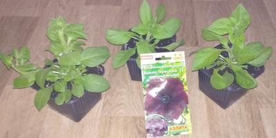 Комплиментуния винно-красная F1. IV этап. Развитие растений и уход за ними. Цветение рассады