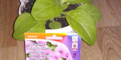 Петуния Марко Поло лиловая F1. IV этап. Развитие растений и уход за ними