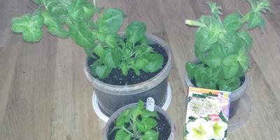 Петуния Марко Поло мятный лайм F1. IV этап. Развитие растений и уход за ними. Первое цветение