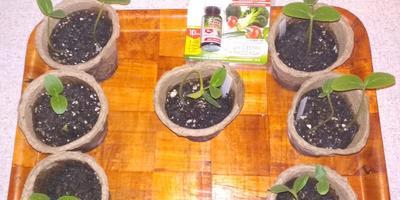 Энерген АКВА. Всходы и развитие растений