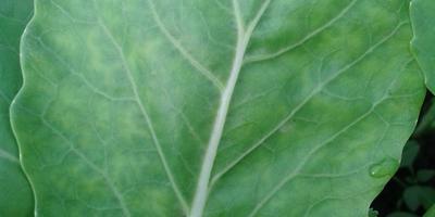 На моей рассаде капусты вот такие пятна. Что это и как с этим бороться?