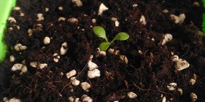 Петуния Василиса Премудрая F1. IV этап. Развитие растений и уход за ними