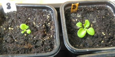 Петуния Марко Поло мятный лайм F1. IV этап. Развитие растений и уход за ними