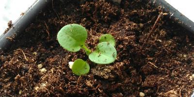 Петуния Марко Поло мятный лайм F1. IV этап. Развитие растений и уход за ними (часть 2)
