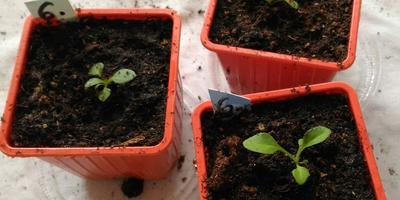 Петуния Василиса Премудрая F1. IV этап. Развитие растений и уход за ними (часть 2)