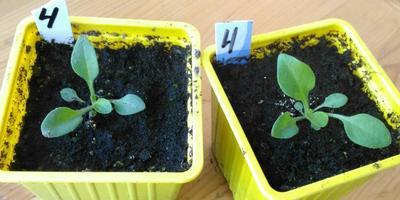 Комплиментуния красная F1. IV этап. Развитие растений и уход за ними (часть 2)