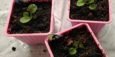 Петуния Варвара Краса F1. IV этап. Развитие растений и уход за ними (часть 2)