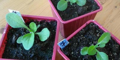 Петуния Мария F1. IV этап. Развитие растений и уход за ними  (часть 2)