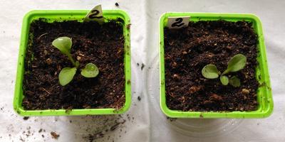 Комплиментуния бургунди F1. IV этап. Развитие растений и уход за ними (часть 2)
