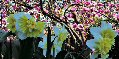 Почему некоторые цветки нарцисса Айс кинг оказались уродливыми?