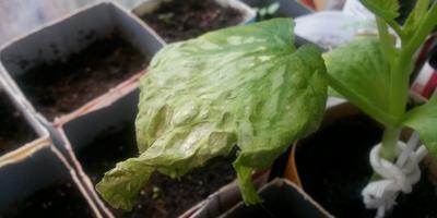 Засыхают листочки у рассады тыквы. В чем причина и что делать?