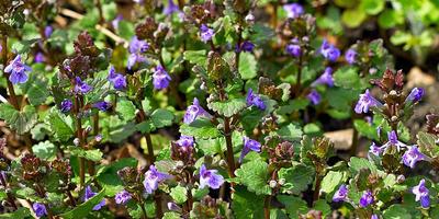 Лекарственные растения в моем саду