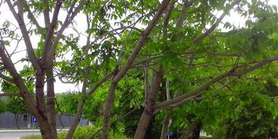 Как называется дерево на фото?