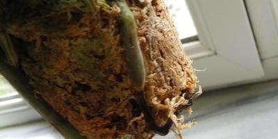 Как восстановить корневую систему орхидеи?