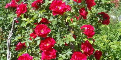 Проще не бывает: розы-пролетарии