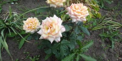 Розы нынешнего года